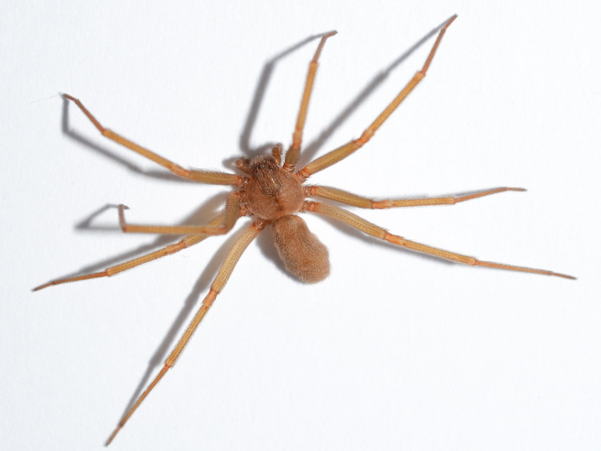 brown recluse coloring pages - photo#23