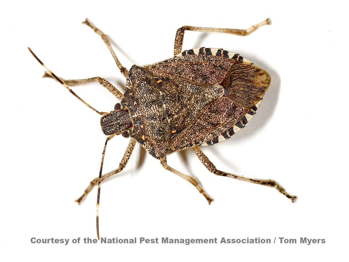 Can You Squash A Bed Bug